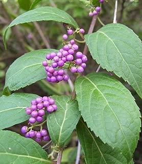 American BeautyBerry Bush - Stunning Purple Berries - LIVE PLANT!