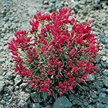 150 Pcs 'Ruby Tuesday' Rock Purslane Calandrinia Umbellata Flower Seeds #SSNH