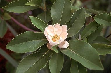 Sweet Bay Magnolia Tree | Magnolia Virginiana | 3 Live Plants | Beautiful Ornamental Specimen