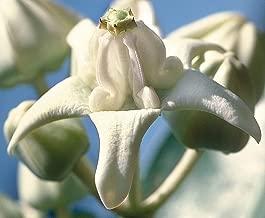 15 Seeds | Calotropis gigantea White | Giant Milkweed | Butterflies Love