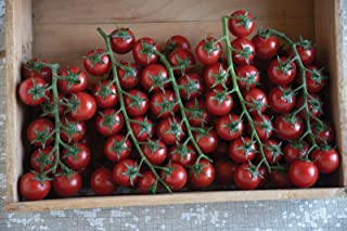 Sungold Select Tomato Seeds - heavy yields of ¾ to 1 oz orange cherry tomatoes!!(10 - Seeds)
