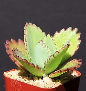 Kalanchoe daigremontiana mexican hat plant rare succulent exotic cactus cacti 2