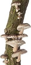 Mushroom Mojo Shiitake Mushroom Log - 12 Inch - Grow Edible Gourmet Fungi - Preinoculated Mycelium Log Kit - Ready to Grow - Great Gift Idea