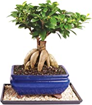 Brussel's Live Gensing Grafted Ficus Indoor Bonsai Tree - 7 Years Old; 10