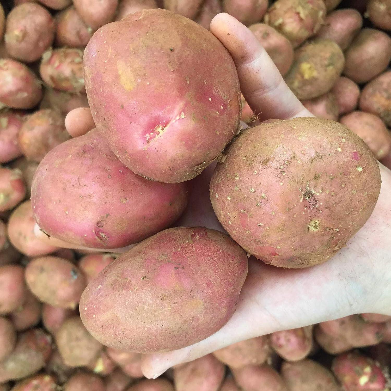 Sac De Graines De Plantes Graines De L/égumes De Pommes De Terre /à Peau Rouge Rares Non OGM Pour La Ferme Graines de pommes de terre Benoon Graines De Pommes De Terre 100Pcs