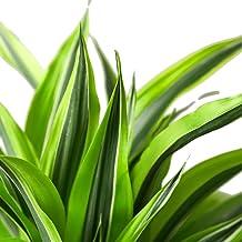 """HOUSEPLANTSHOP   Dracaena Deremensis 'Lemon Surprise' - 4""""pot   Live Indoor Plant   Free Care Guide"""