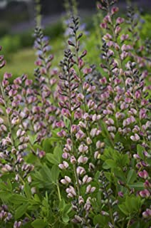 Proven Winners - Baptisia DECADENCE 'Pink Truffles' (False Indigo) Perennial, pink-lavender flowers, #1 - Size Container