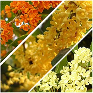 5 Osmanthus Fragrans Sweet Olive Mix Seeds One of The Most Fragrant Tree