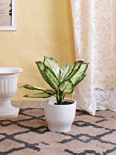 Fourwalls Polyester and Plastic Artificial Dieffenbachia Bush (15 cm x 15 cm x 52 cm, Green/White)