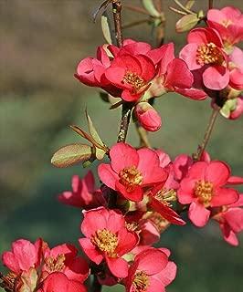 HOT - Chaenomeles speciosa Flowering Quince Shrub Seeds