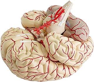 Finlon Human Anatomical Brain Professional New Dissection Medical Teaching Model