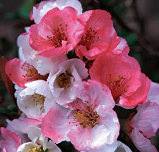 Toyo Nishiki Flowering Quince - 2' - 4' tall - One Gallon Potted - Chaenomeles Speciosa - Healthy Shrub/Bush - 1 Pack by Growers Solution
