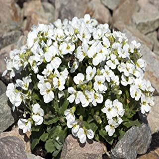 Outsidepride Arabis Snow Peak Ground Cover Plant Seed - 5000 Seeds