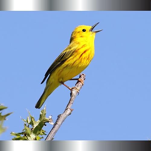 Sonneries oiseaux