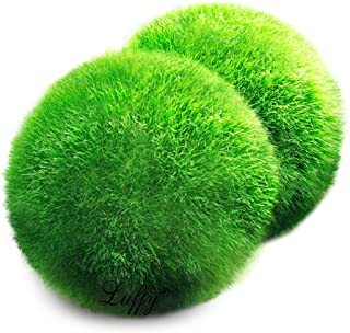 Luffy Giant Marimo Moss Balls, Aquarium Decor or a Perfect Heirloom Gift, Symbolize..