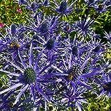 Semi di agrifoglio - Eryngium alpinum