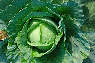 White cabbage Golden Acre - early variety producing green-yellowish heads - seeds