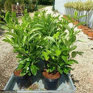 100 pezzi Prunus NOVITA 30-40 cm di ciliegio alloro NOVITA siepi Pianta in vaso