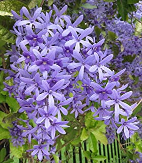Casavidas Seeds Package: Petrea Volubilis/Queen's Wreath / 10 Seeds
