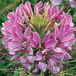 Cleome Hassleriana [Violet Queen, 100 Seeds]