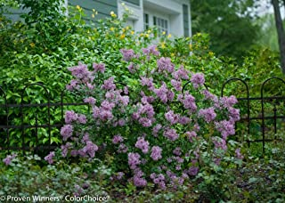 Bloomerang Dwarf Purple Lilac - Syringa - Proven Winners - 4