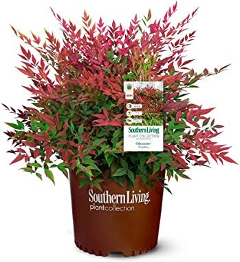 Southern Living Obsession Nandina 2 Gal, Bright Red Foliage