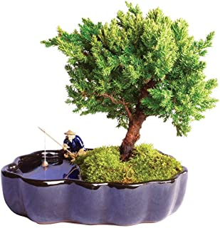 Brussel's Bonsai Live Green Mound Juniper Outdoor Bonsai Tree in Zen Reflections Pot - 3 Years Old; 6