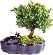 jade plant in japanese