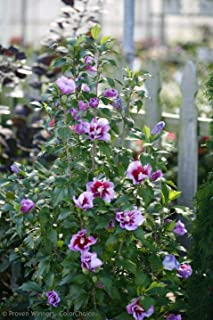 Purple Pillar Hibiscus 4 inch Pot Rose of Sharon Proven Winners AG002