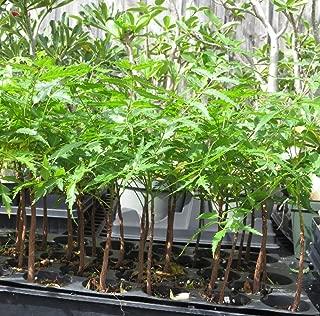 neem plant sale