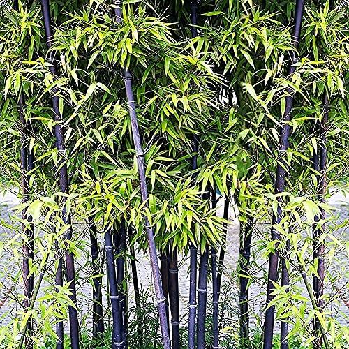 Black Bamboo Seeds | 200+ Rare Purple Black Timor Bamboo, Grow Black Bamboo,...