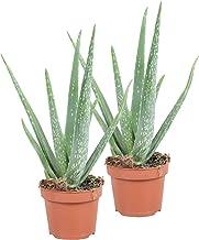 2xAloë Vera Succulent | Aloë Vera plant | Set van 2 | Hoogte 40-45cm | pot - Ø12cm