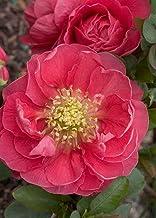 AchmadAnam - Double Take Chaenomeles Pink Storm PPAF- Flowering Quince - Proven Winners, Plant,Bush,Shrub