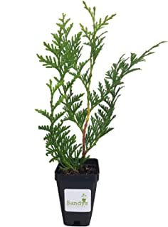 Sandys Nursery Online Thuja Green Giant Arborvitae ~Lot of 30~3 inch 10-14 inches Tall + (1) Gardenia August Beauty Stater...