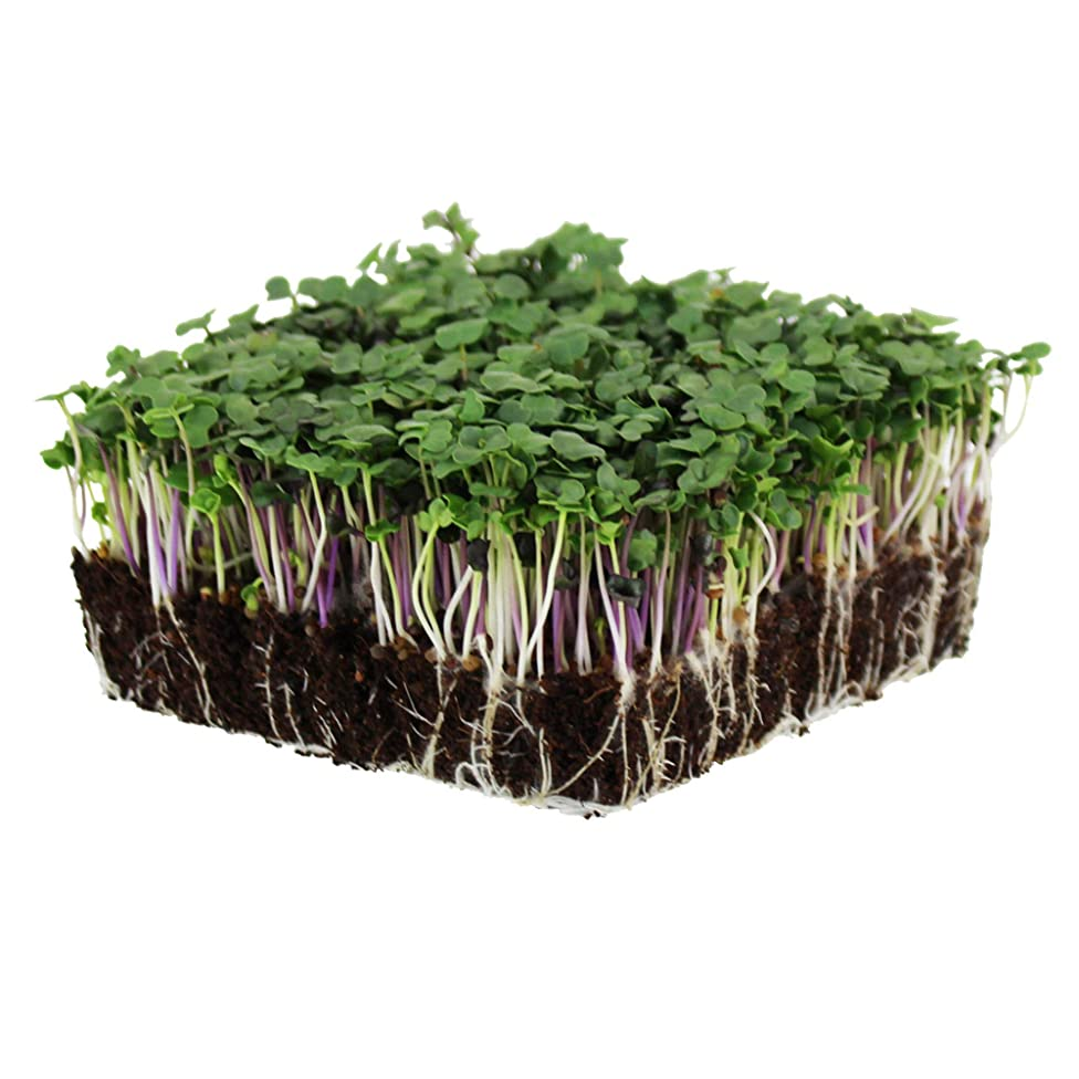 Spicy Micro Salad Mix Microgreens Seeds: 1 Lb - Non-GMO Seed Blend: Broccoli, Kale, Mustard, Cabbage, Arugula, More