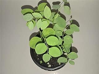 1 Katuk Sauropus Androgynus Starter Live Plant