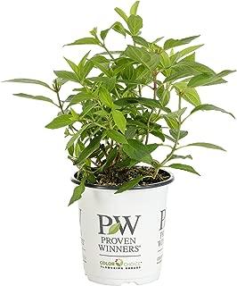 hydrangea paniculata zinfin doll