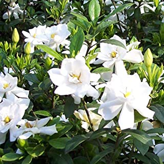 2 Pcs Gardenia Jasmine Seeds Fragrant White Flower Bonsai Garden Decor,Flower Plants Seeds for Home Garden, Non-GMO Seeds for Planting Indoors or Outdoor