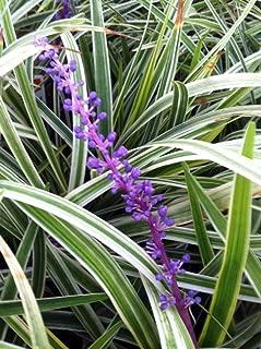 Liriope 'Variegated' Grass (Liriope muscari 'Variegata') 3'' in. pots - 18 Count Tray