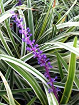 Plants by Mail Liriope 'Variegated' Grass (Liriope muscari 'Variegata') 3'' in. pots - 18 Count Tray