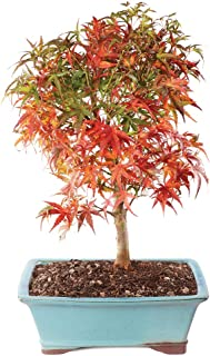 chinese banyan tree for sale