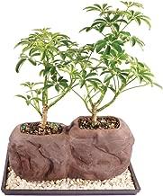 Brussel's Live Dwarf Hawaiian Umbrella Indoor Bonsai Tree on Double Rock - 3 Years Old; 6