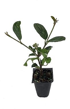 Viburnum Suspensum - 40 Live Plants - Evergreen Privacy Hedge Shrub