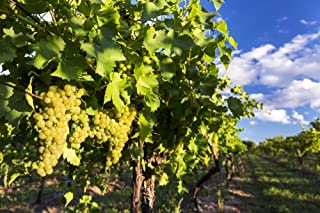 Rows of grape vines with white grapes highlighted by the sun hanging from the vine with blue sky and clouds in the backgro...