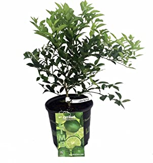 Best dwarf key lime tree care Reviews