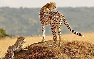 Cheetah Family Cub Grass/Animal Poster Print (Size:13x19 inch)