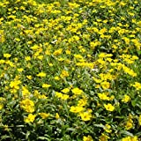 Genuine Plant World Seeds branded packets supplied direct from Plant World Seeds UK Common Name: Rock Rose, Flower of the sun Height: 20-30cm Packet content (approximately): 15 seeds This attractive, evergreen, trailing plant has loose terminal clust...