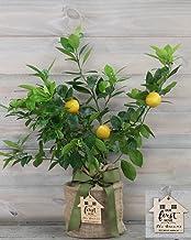 Improved Meyer Lemon Housewarming Gift Tree with Personalized Keepsake Ornament by The Magnolia Company-Cannot Ship to CA, TX, AZ, LA