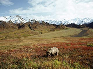 Puzzle 1000 Piece Jigsaw Puzzle Kids Adult -Foraging Grizzly Bear Alaska- Special Home Decor
