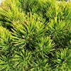 Semi di pino di Mugo - Pinus mugo #1